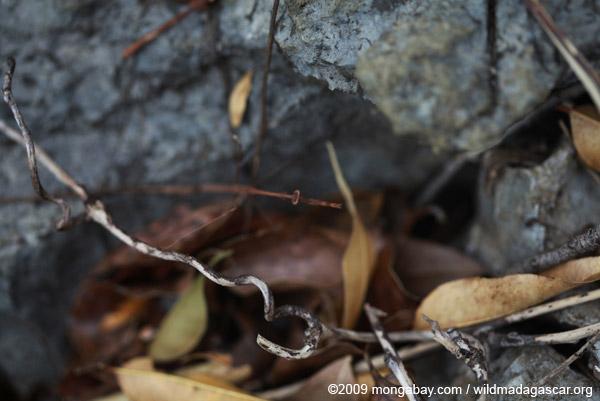Brown mantis