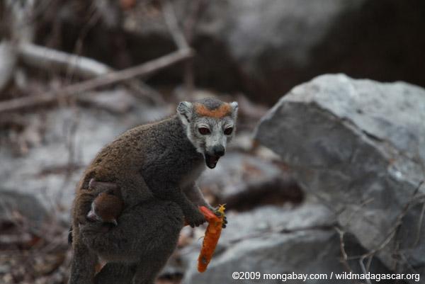 Female crowned lemur, carrying baby, feeding on a mango rind