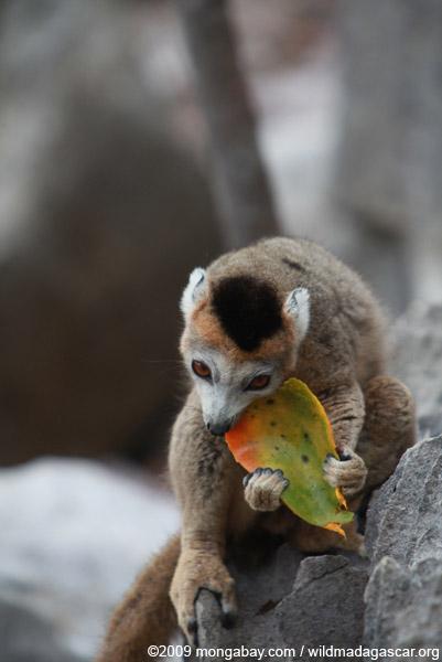 Female crowned lemur feeding on a mango rind