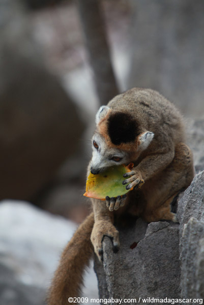 Female crowned lemur feeding on a mango rind while perched on sharp limestone tsingy