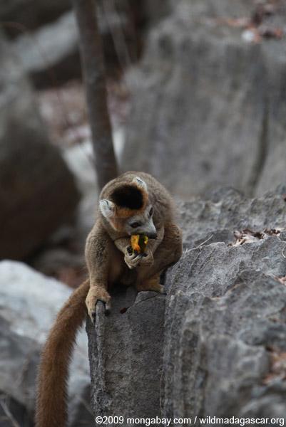 Crowned lemur feeding on a mango rind while perched upon limestone tsingy