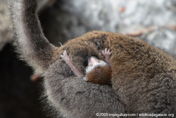 Baby crowned lemur clinging to its mother