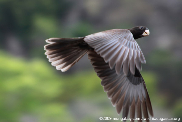 Greater Vasa Parrot (Coracopsis vasa) in flight