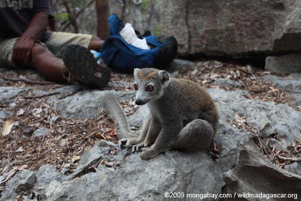 Mother crowned lemur hoping for food