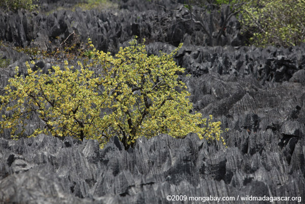 Tree growing between tsingy near Lac Vert