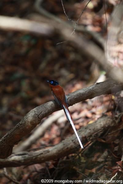 Male Madagascar Paradise-flycatcher (Terpsiphone mutata