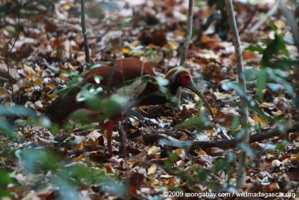 Madagascar Ibis (Lophotibis cristata)