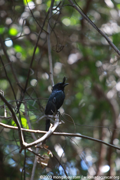 Madagascar crested drongo