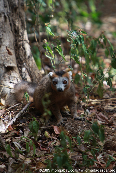 Crowned lemur in the forest floor
