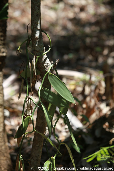 Vanilla plant leaves