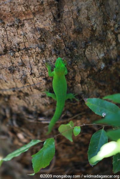 Madagascar giant day gecko (Phelsuma madagascariensis) on Nosy Be
