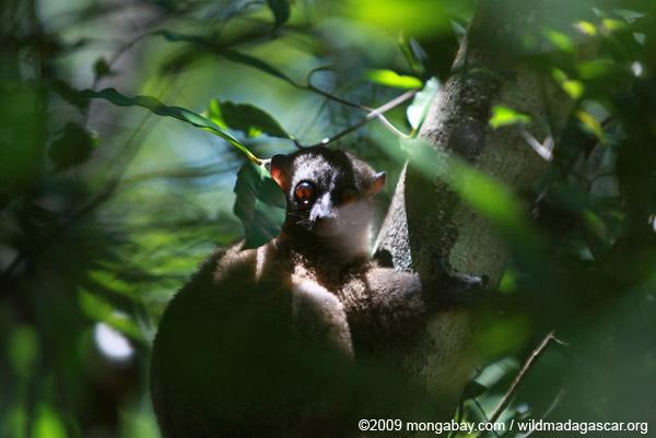 Back-striped Lepilemur (Lepilemur dorsalis)