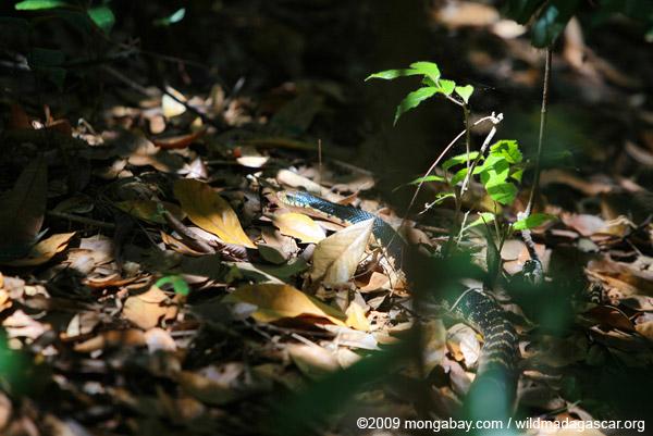 Madagascar giant hognose snakes