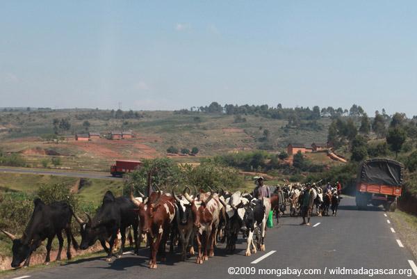 Zebu cattle blocking the road