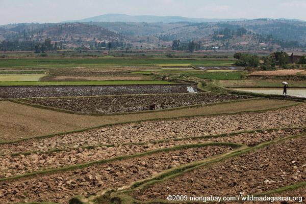 Rice fields along RN7
