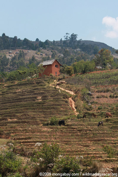 Terraced rice paddies in Madagascar