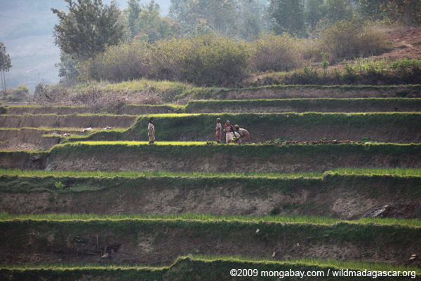 Women working in a terraced rice field in Madagascar. Photo by Rhett Butler.