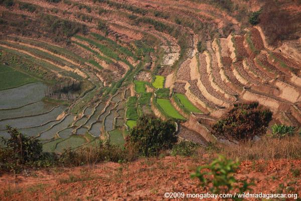 Terraced rice paddies Madagascar's Central Plateau