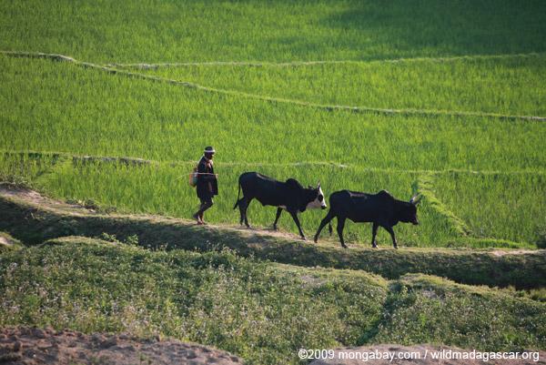 Rice field and zebu cattle