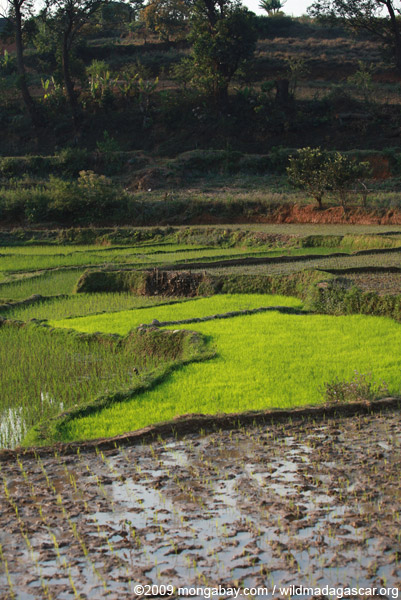 Rice paddies in Madagascar's Central Plateau