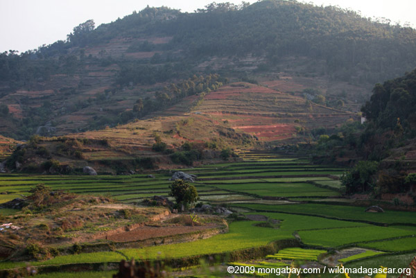 Rice fields and eucalptus plantations in the central highlands of Madagascar