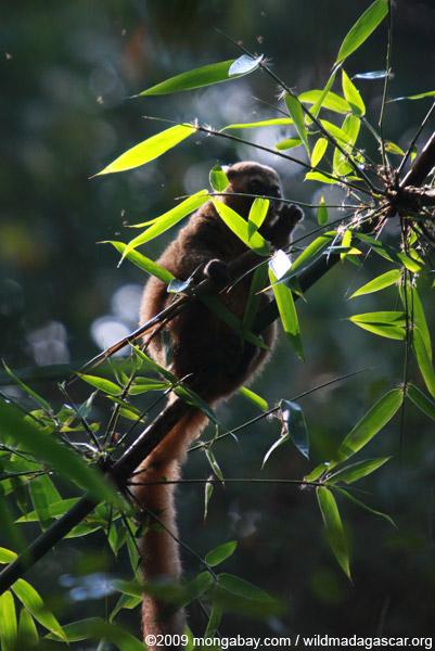 Golden Bamboo Lemur (Hapalemur aureus) eating bamboo