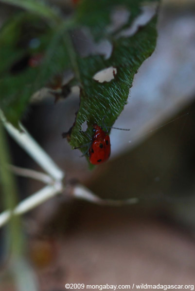 Red beetle with black spots