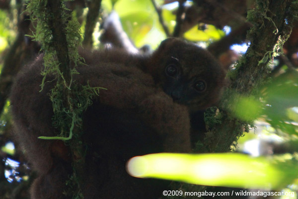 Female Red-bellied Lemur (Eulemur rubriventer)