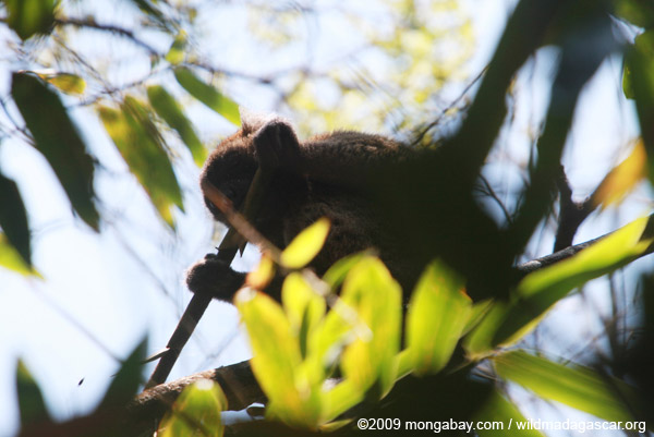 Greater Bamboo Lemur (Prolemur simus), one of the world's endangered lemurs, eating bamboo