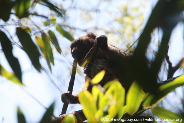 Greater Bamboo Lemur (Prolemur simus), one of the world's rarest lemurs, eating bamboo