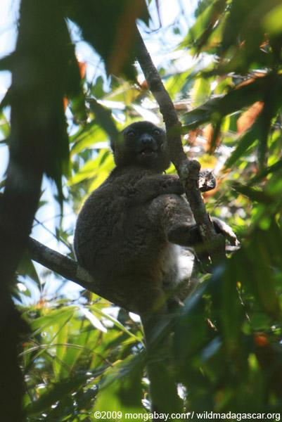Greater Bamboo Lemur (Prolemur simus), one of the world's rarest lemurs