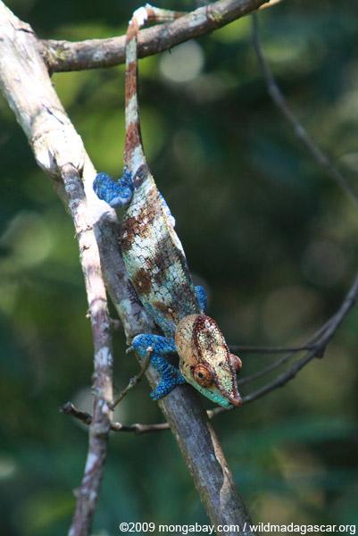 Blue, orange, and green Calumma crypticum chameleon [male]