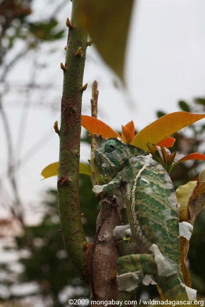 Rainforest Chameleon (Furcifer balteatus) [male]