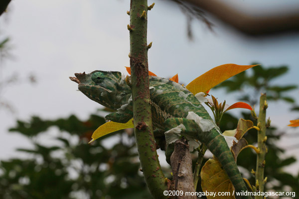 Rainforest Chameleon (Furcifer balteatus) [male]