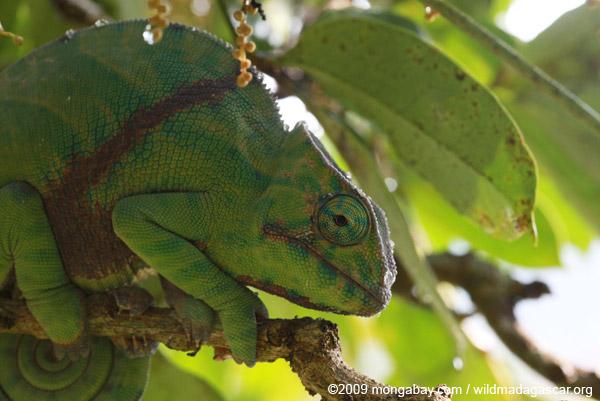 Female Furcifer balteatus chameleon