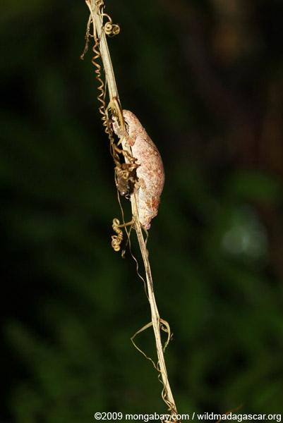 Male Calumma nasutum chameleon