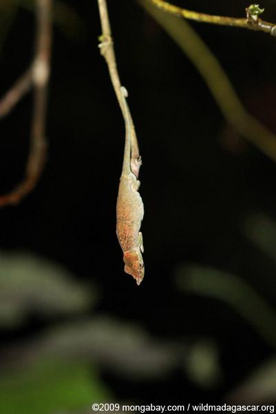 Big-nosed chameleon (Calumma nasutum)