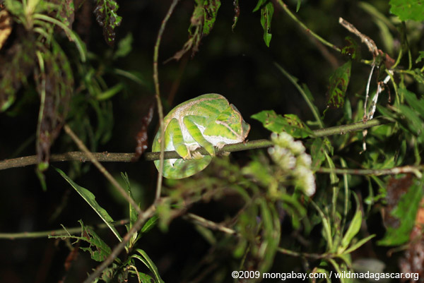 Sleeping Furcifer balteatus chameleon