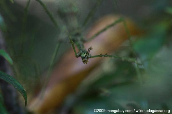 Mossy stick insect headshot