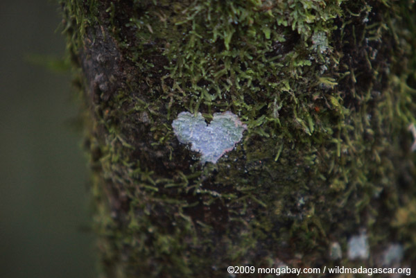 Heart-shaped lichen