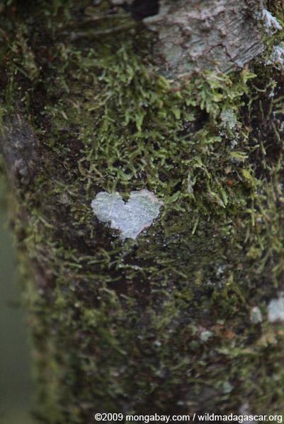 Heart-shaped lichen