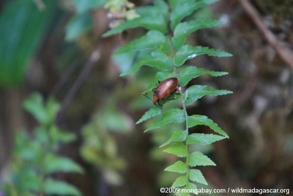 Metallic orange beetle