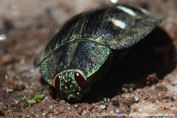 Polybothris Jewel beetle (family Buprestidae)