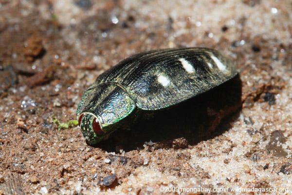 Metallic Jewel beetle (family Buprestidae)