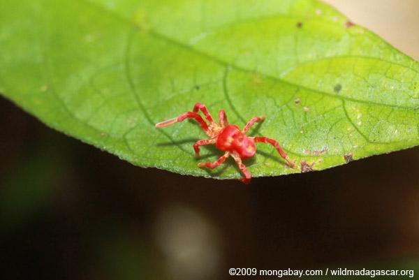 Pink and orange spider-looking mite (Acari)