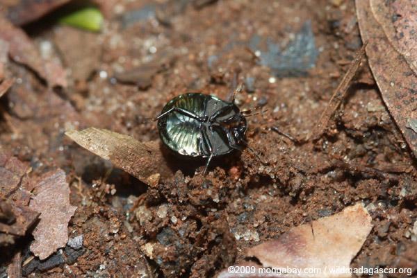 Round metallic beetle