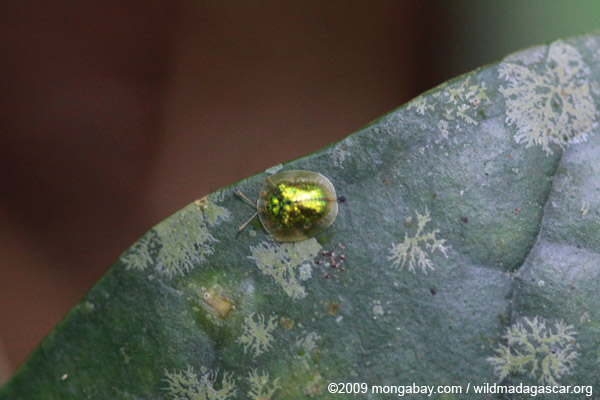 Brilliant green beetle [Tortoise beetle of the Chrysomelidae family]
