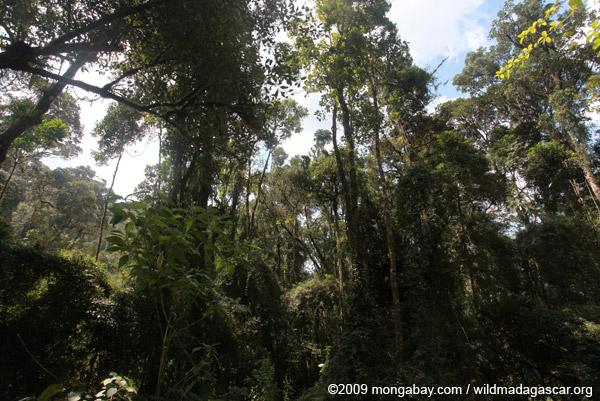 Ranomafana rainforest