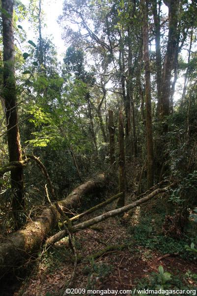 Light gap created by a fallen rainforest tree