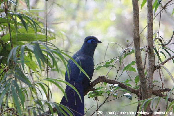 Blue Coua (Coua caerulea)